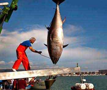 Рыба тунец