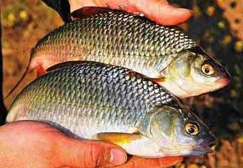 Болтушка из манки для рыбалки