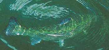 Форель оставляет круги на воде