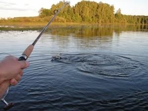 Ловля окуня в августе на спиннинг