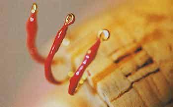 Нимфа покрытая лаком для ногтей